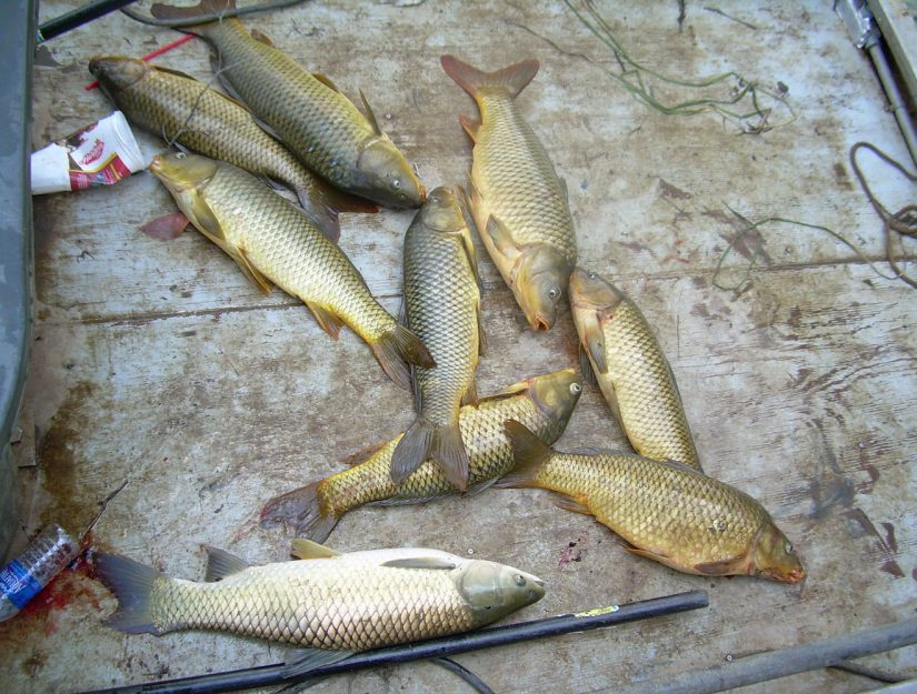 Common Carp Catch